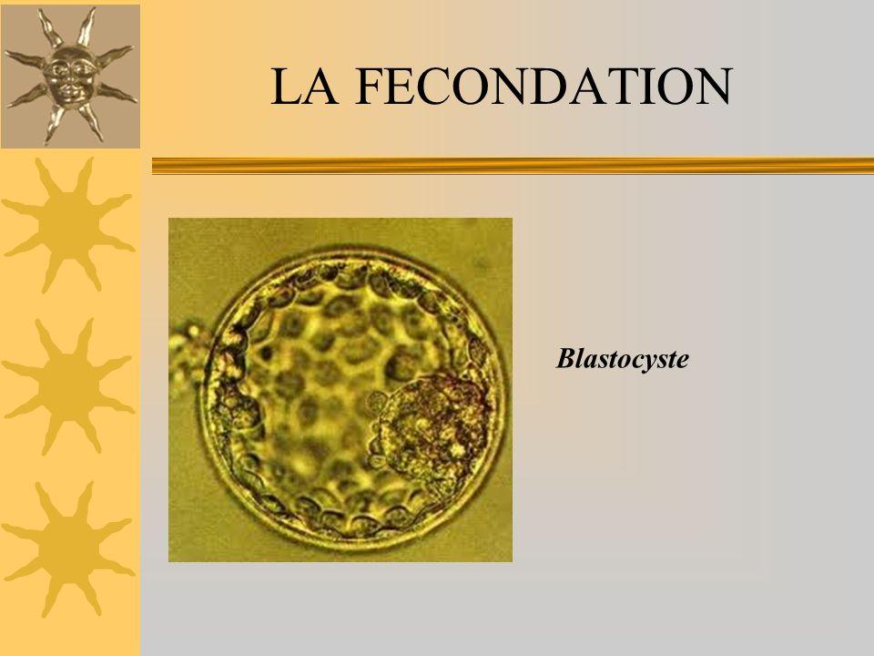 LA FECONDATION Blastocyste