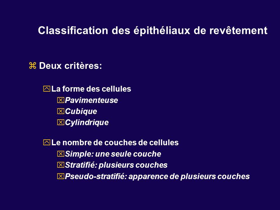 Classification des épithéliaux de revêtement