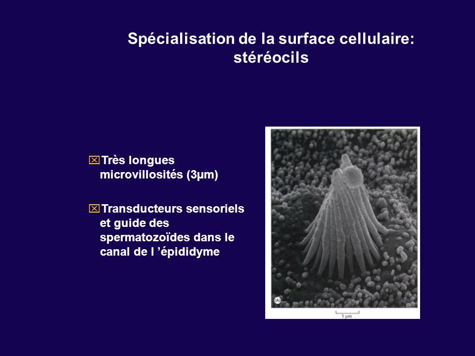 Spécialisation de la surface cellulaire: stéréocils