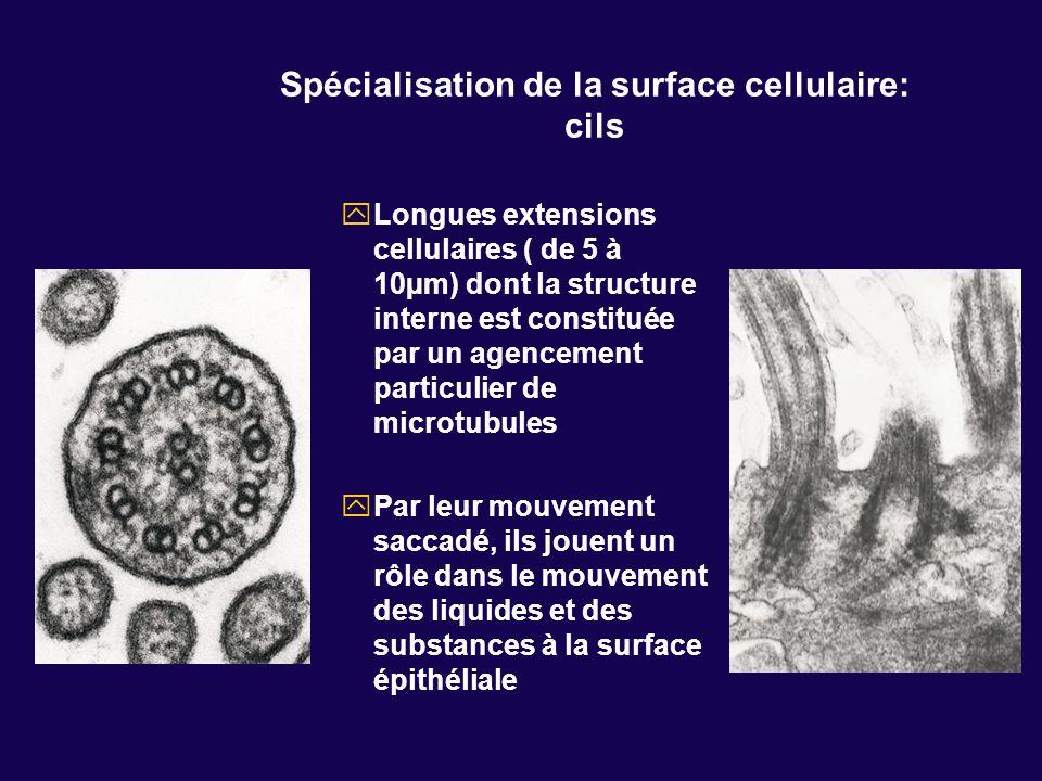 Spécialisation de la surface cellulaire: cils