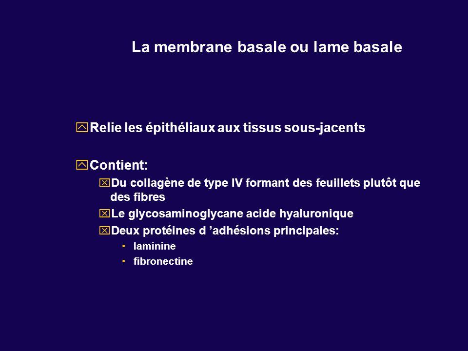 La membrane basale ou lame basale