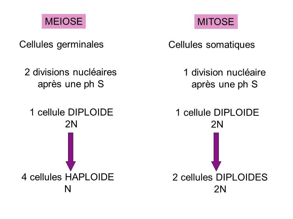 MEIOSE Cellules germinales. 2 divisions nucléaires. après une ph S. 1 cellule DIPLOIDE. 2N. 4 cellules HAPLOIDE.