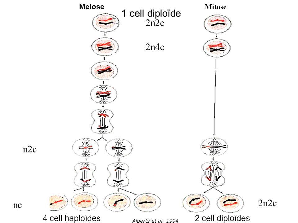 1 cell diploïde 2n2c 2n4c n2c 2n2c nc 4 cell haploïdes