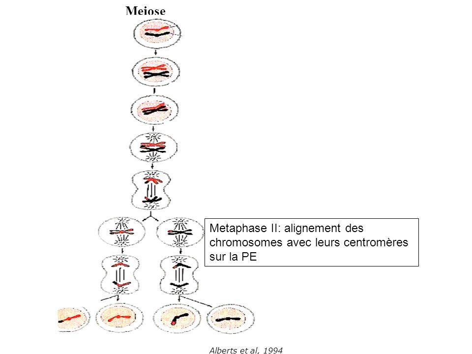 Meiose Metaphase II: alignement des chromosomes avec leurs centromères sur la PE.