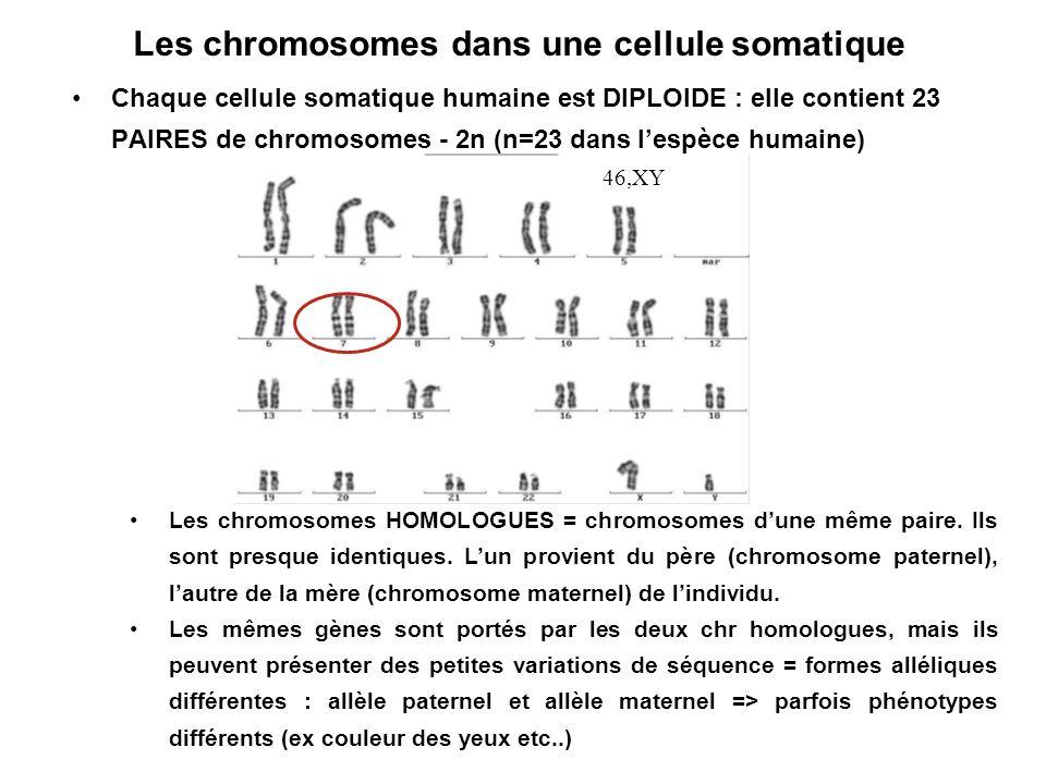 Les chromosomes dans une cellule somatique