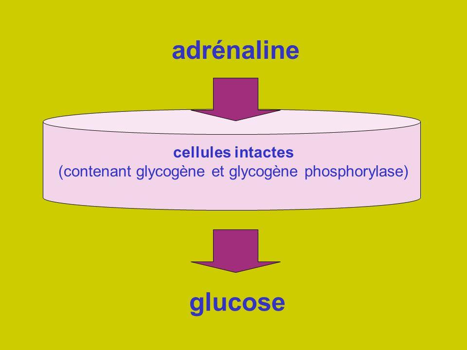 cellules intactes (contenant glycogène et glycogène phosphorylase)