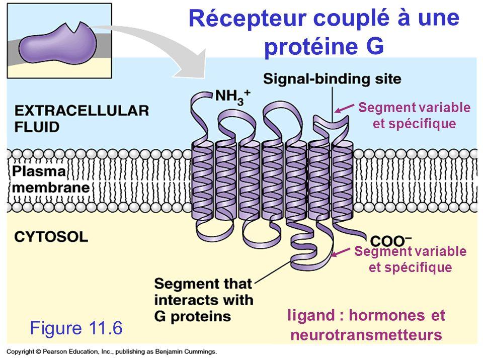 Récepteur couplé à une protéine G