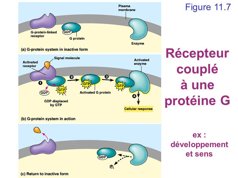 Récepteur couplé à une protéine G ex : développement et sens