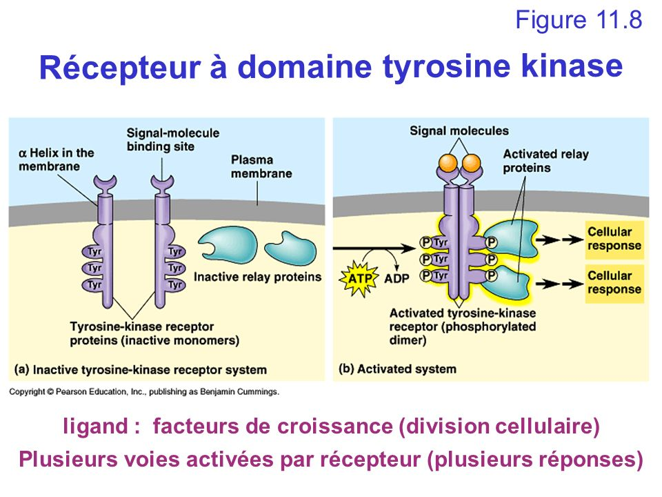 Récepteur à domaine tyrosine kinase