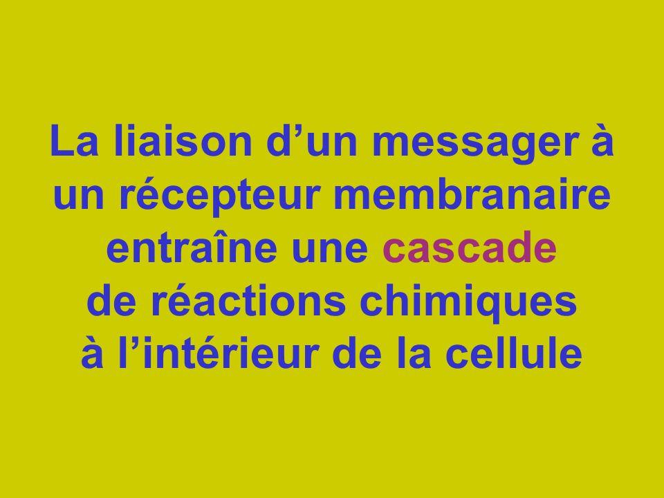 La liaison d'un messager à un récepteur membranaire entraîne une cascade de réactions chimiques à l'intérieur de la cellule