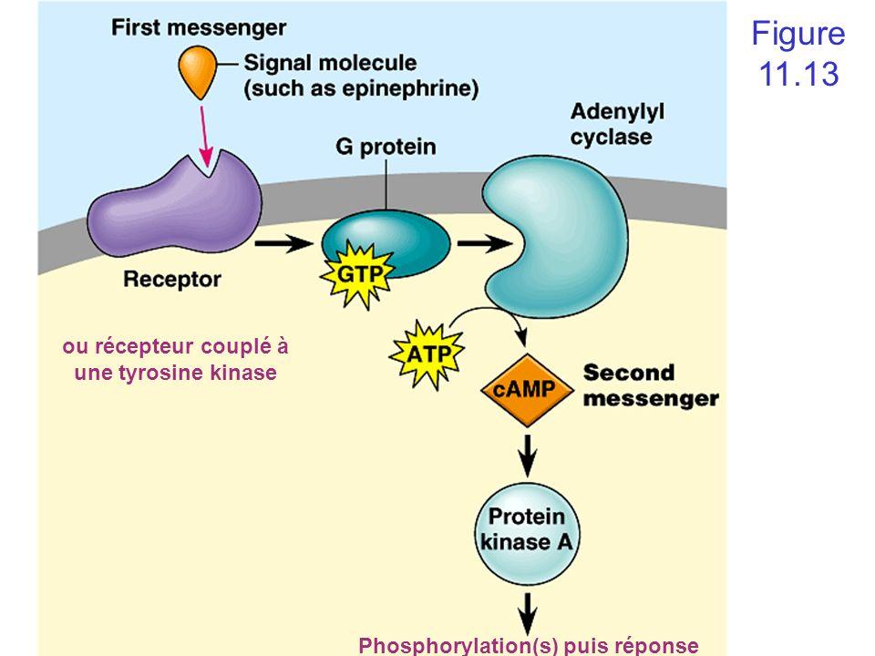 Figure 11.13 ou récepteur couplé à une tyrosine kinase