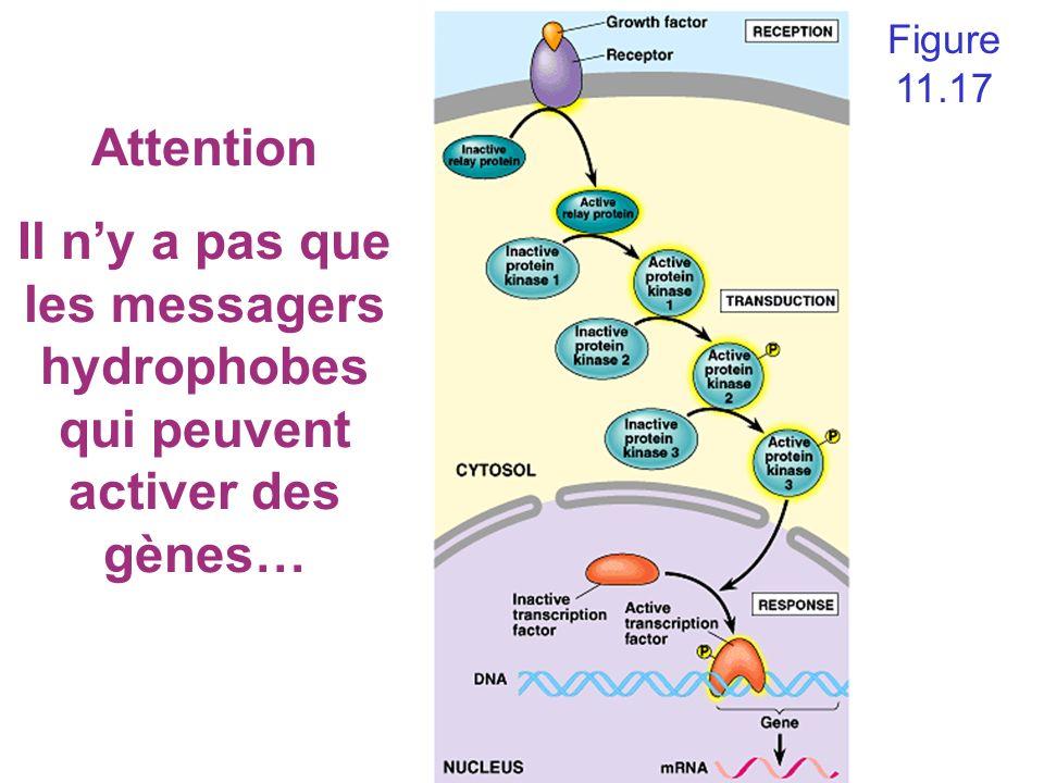 Figure 11.17 Attention Il n'y a pas que les messagers hydrophobes qui peuvent activer des gènes…