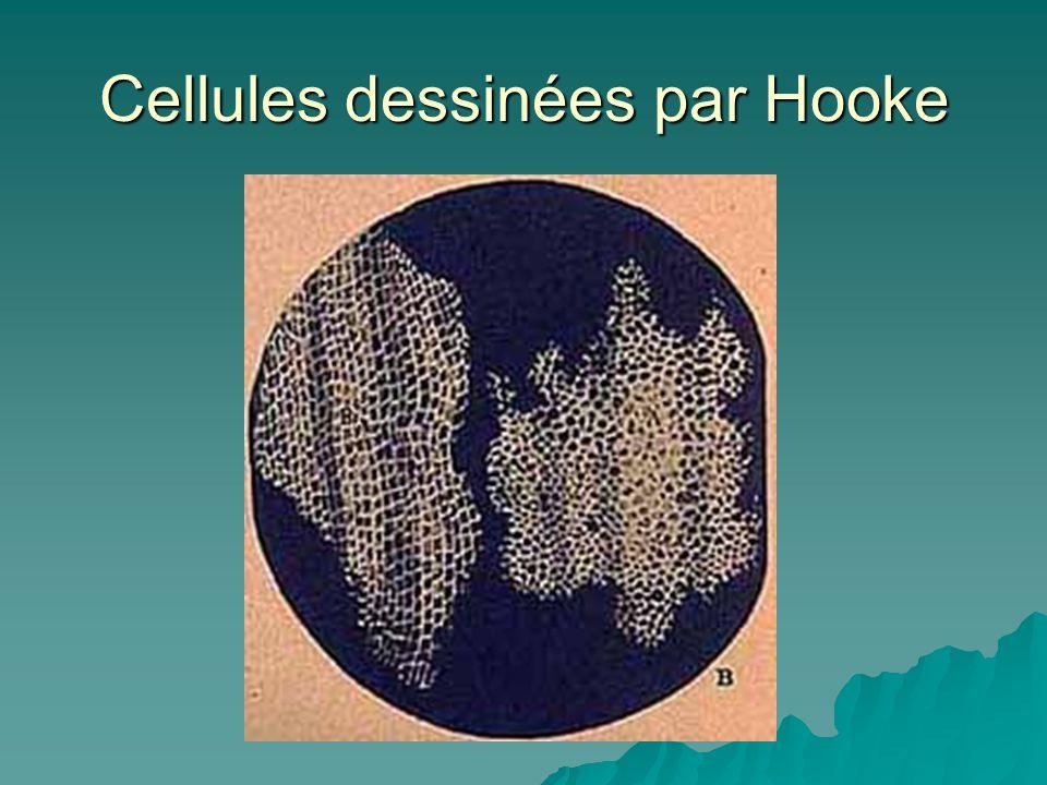 Cellules dessinées par Hooke