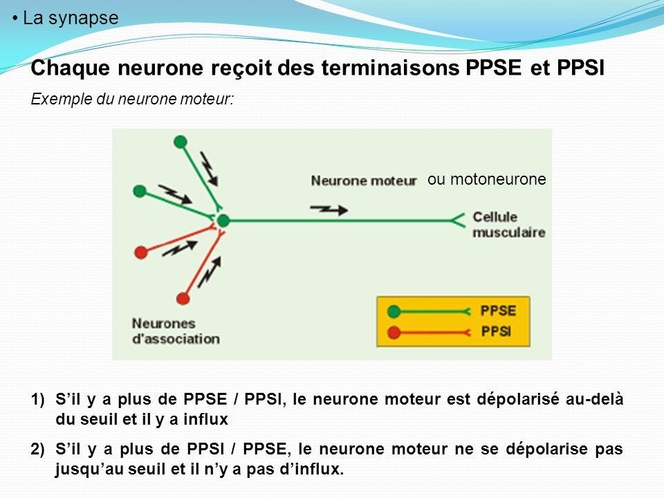 Chaque neurone reçoit des terminaisons PPSE et PPSI
