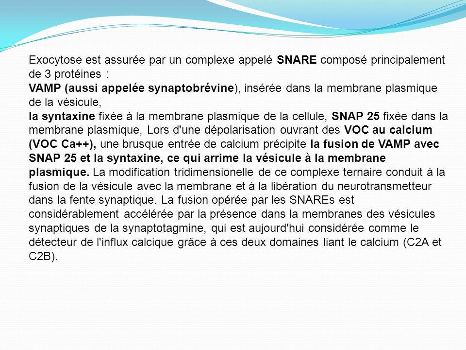 Exocytose est assurée par un complexe appelé SNARE composé principalement de 3 protéines :