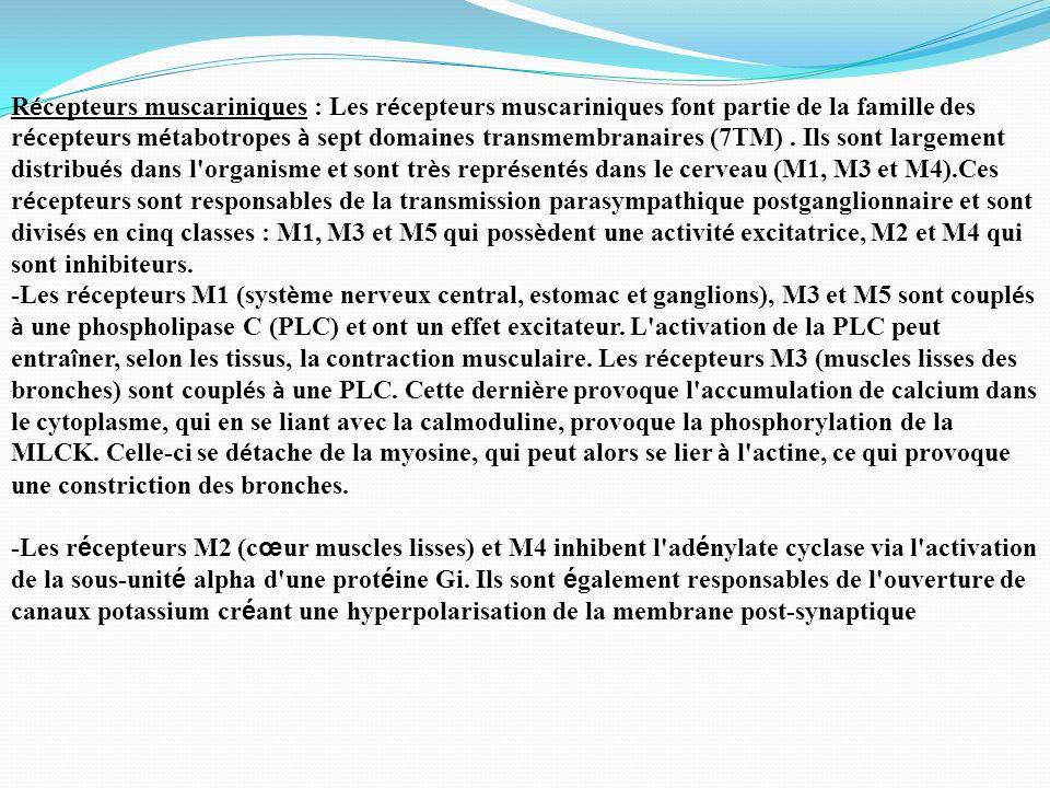 Récepteurs muscariniques : Les récepteurs muscariniques font partie de la famille des récepteurs métabotropes à sept domaines transmembranaires (7TM) . Ils sont largement distribués dans l organisme et sont très représentés dans le cerveau (M1, M3 et M4).Ces récepteurs sont responsables de la transmission parasympathique postganglionnaire et sont divisés en cinq classes : M1, M3 et M5 qui possèdent une activité excitatrice, M2 et M4 qui sont inhibiteurs.
