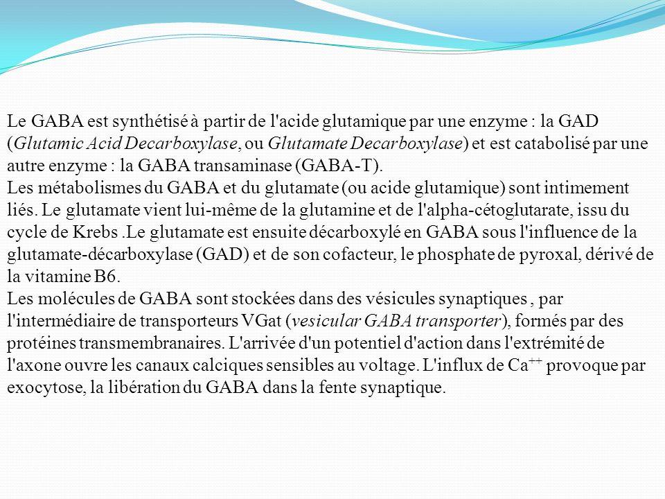Le GABA est synthétisé à partir de l acide glutamique par une enzyme : la GAD (Glutamic Acid Decarboxylase, ou Glutamate Decarboxylase) et est catabolisé par une autre enzyme : la GABA transaminase (GABA-T).