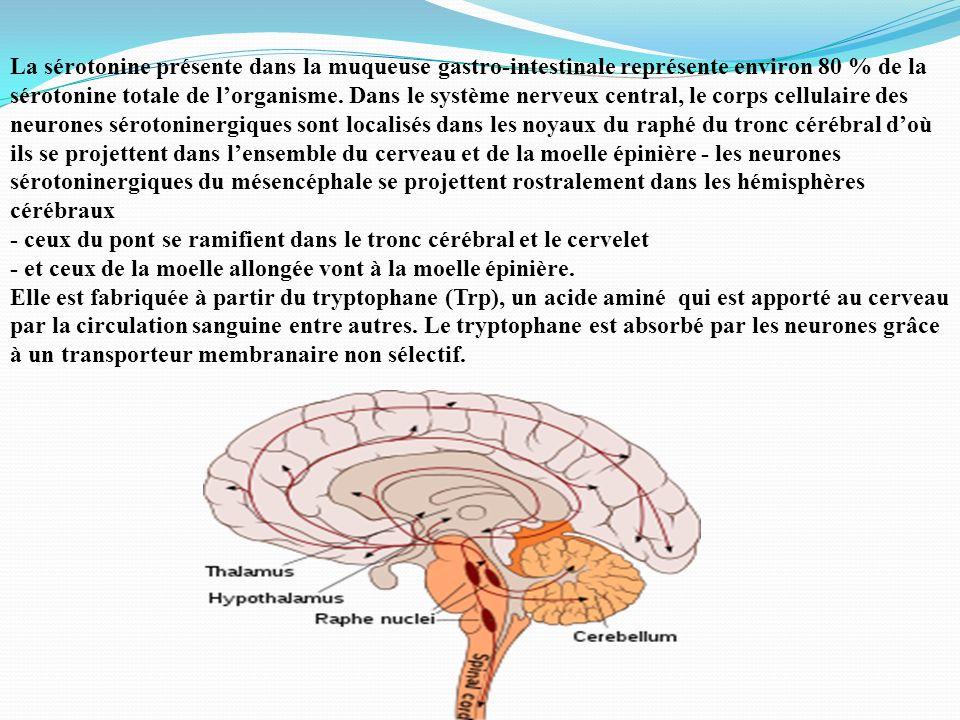 La sérotonine présente dans la muqueuse gastro-intestinale représente environ 80 % de la sérotonine totale de l'organisme. Dans le système nerveux central, le corps cellulaire des neurones sérotoninergiques sont localisés dans les noyaux du raphé du tronc cérébral d'où ils se projettent dans l'ensemble du cerveau et de la moelle épinière - les neurones sérotoninergiques du mésencéphale se projettent rostralement dans les hémisphères cérébraux - ceux du pont se ramifient dans le tronc cérébral et le cervelet - et ceux de la moelle allongée vont à la moelle épinière.