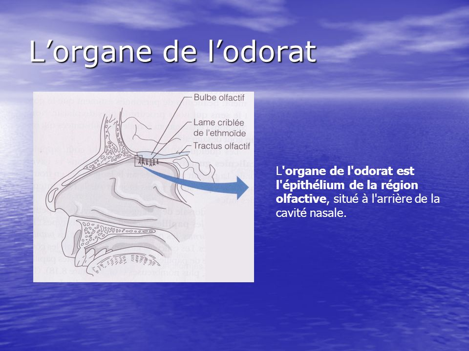 L'organe de l'odorat L organe de l odorat est l épithélium de la région olfactive, situé à l arrière de la cavité nasale.
