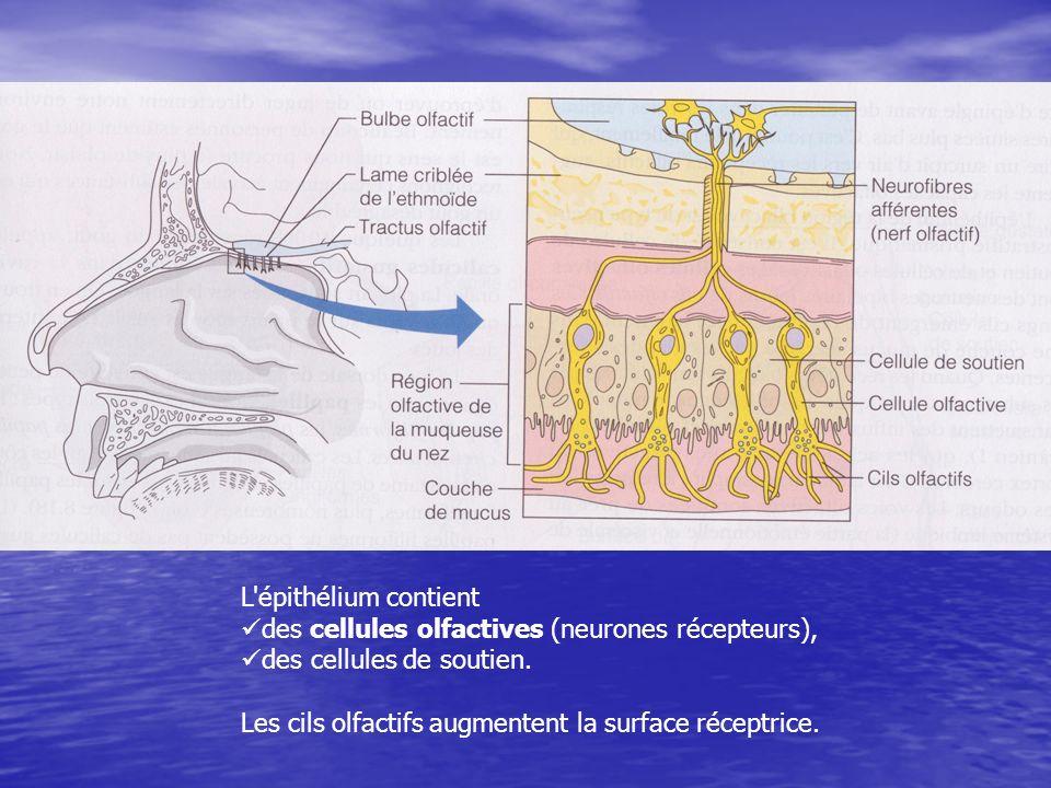 L épithélium contient des cellules olfactives (neurones récepteurs), des cellules de soutien.