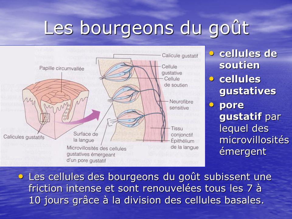 Les bourgeons du goût cellules de soutien cellules gustatives