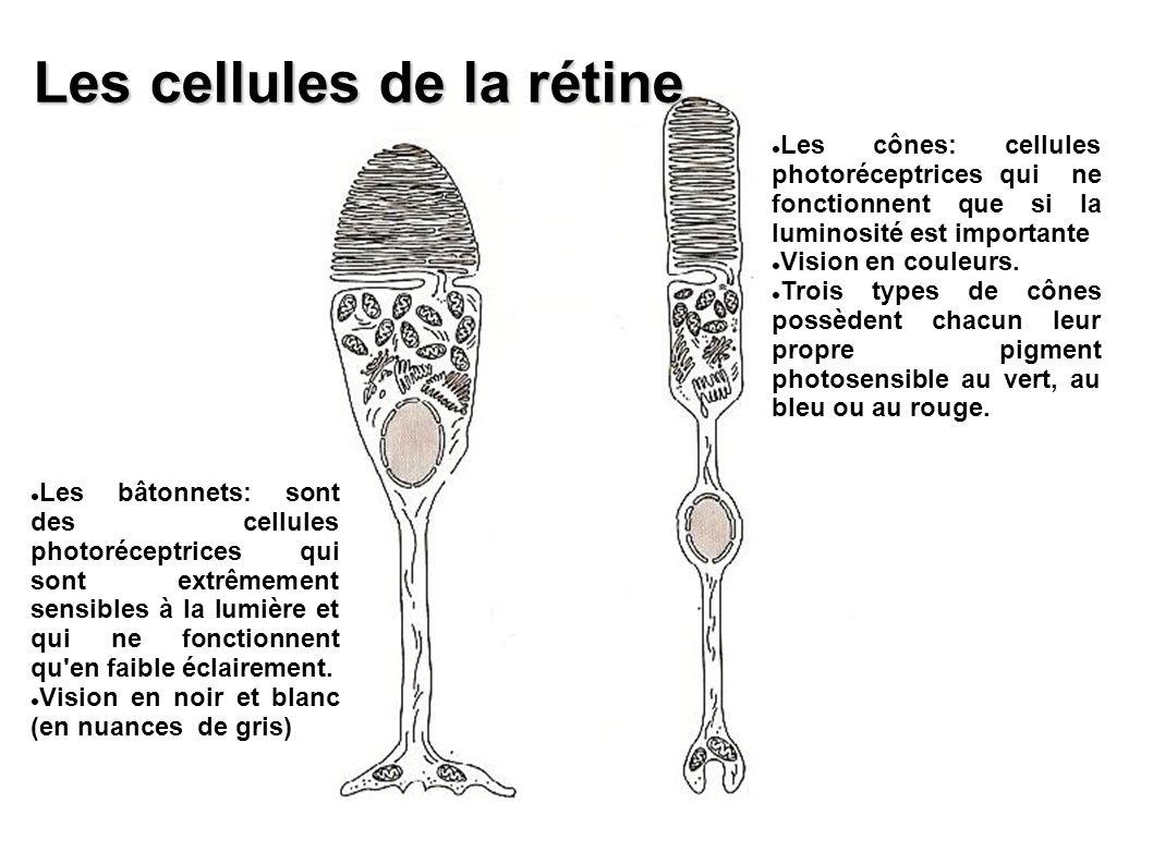 Les cellules de la rétine