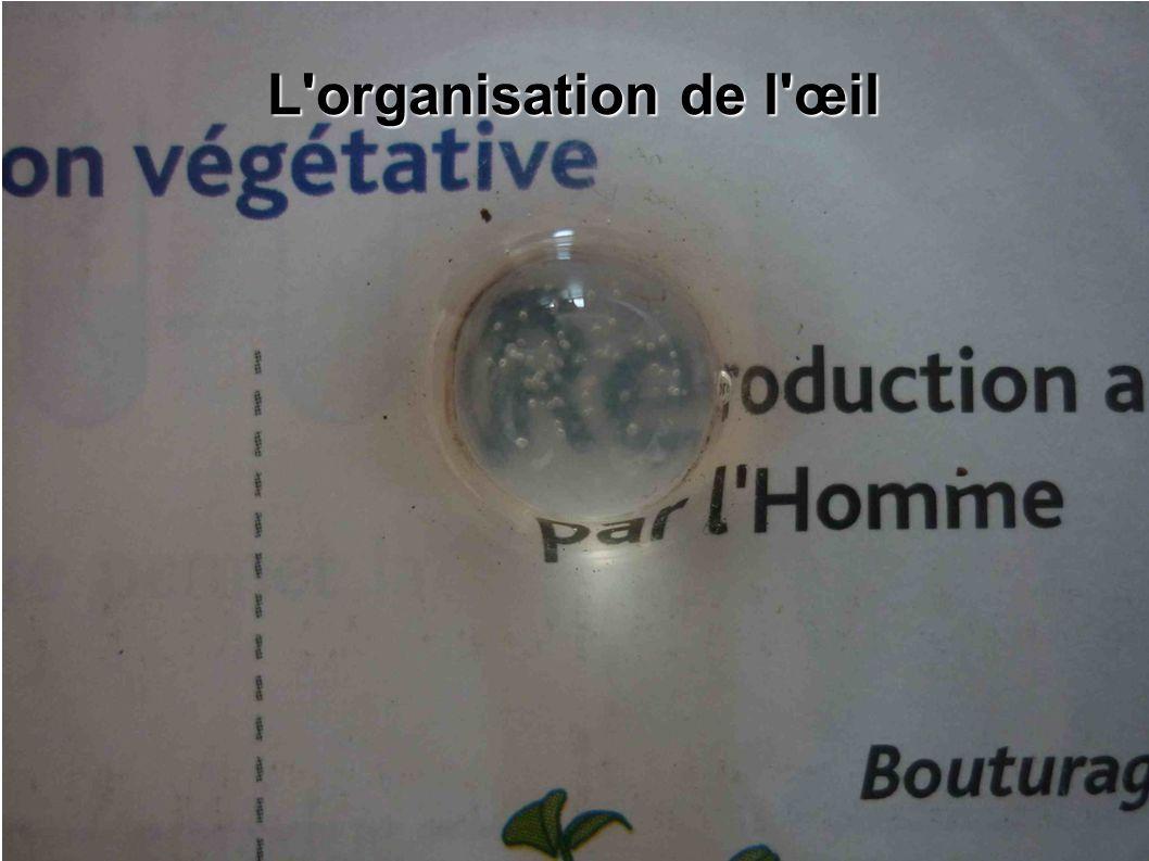 L organisation de l œil Il nous avons pu déterminer une propriété du cristallin.