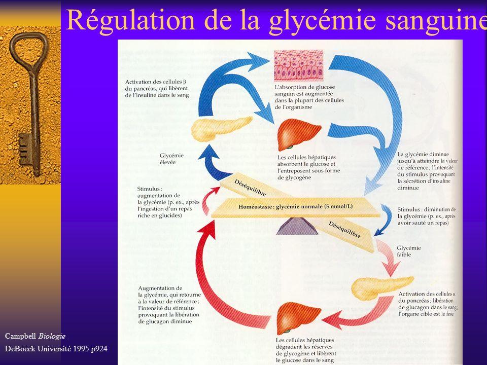 Régulation de la glycémie sanguine