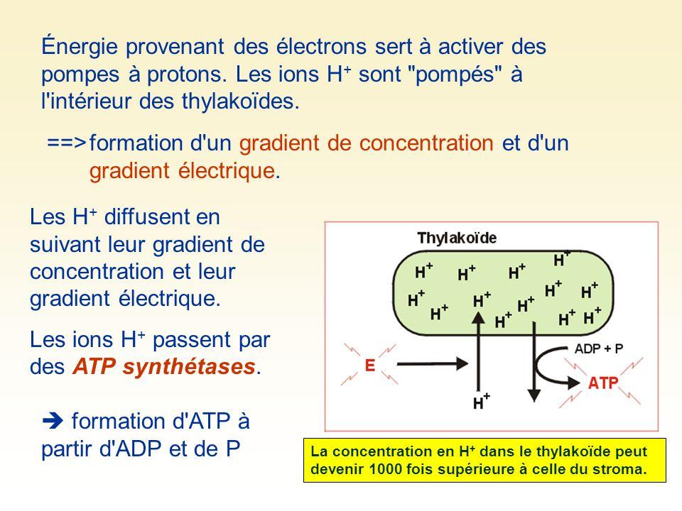 Les ions H+ passent par des ATP synthétases.