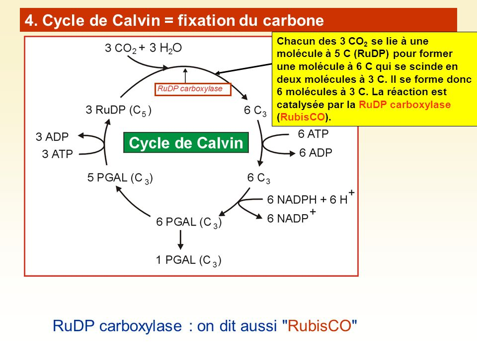 4. Cycle de Calvin = fixation du carbone