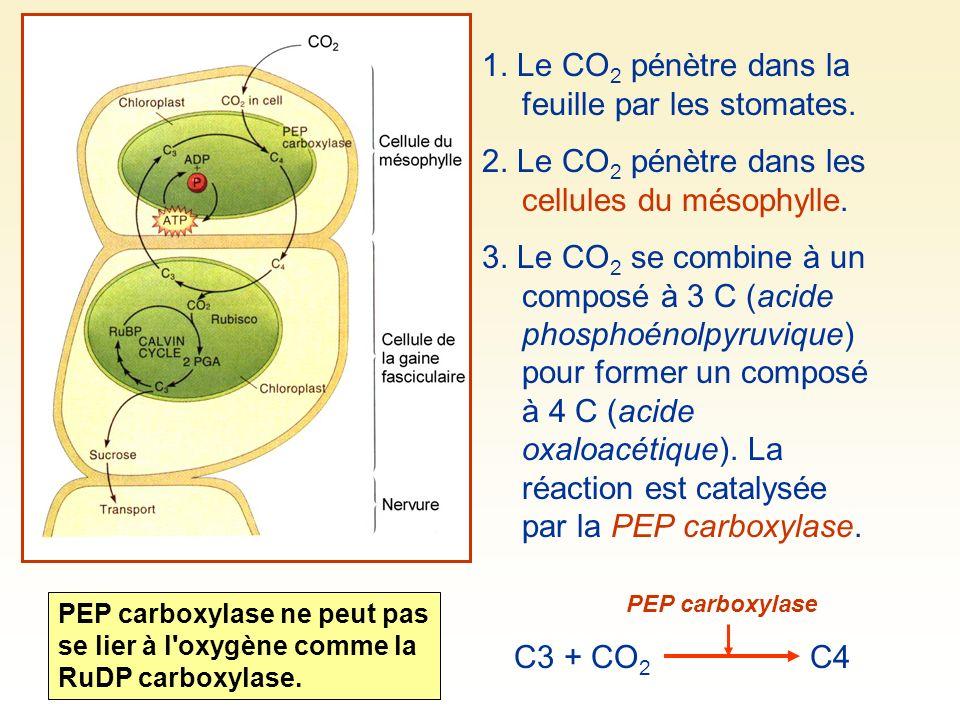 1. Le CO2 pénètre dans la feuille par les stomates.