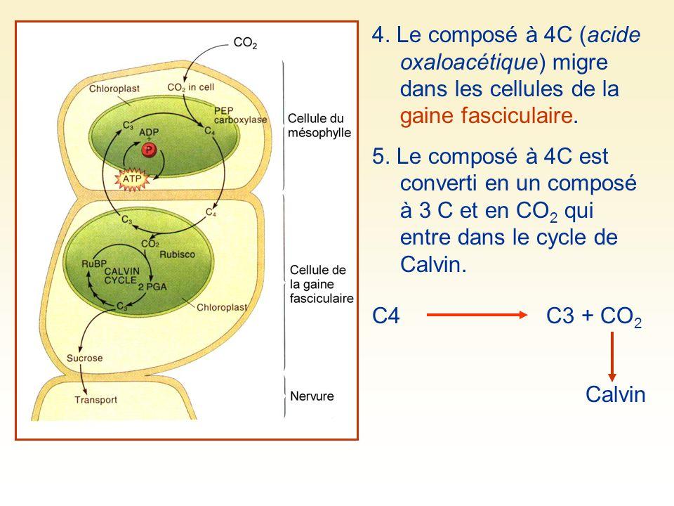 4. Le composé à 4C (acide oxaloacétique) migre dans les cellules de la gaine fasciculaire.