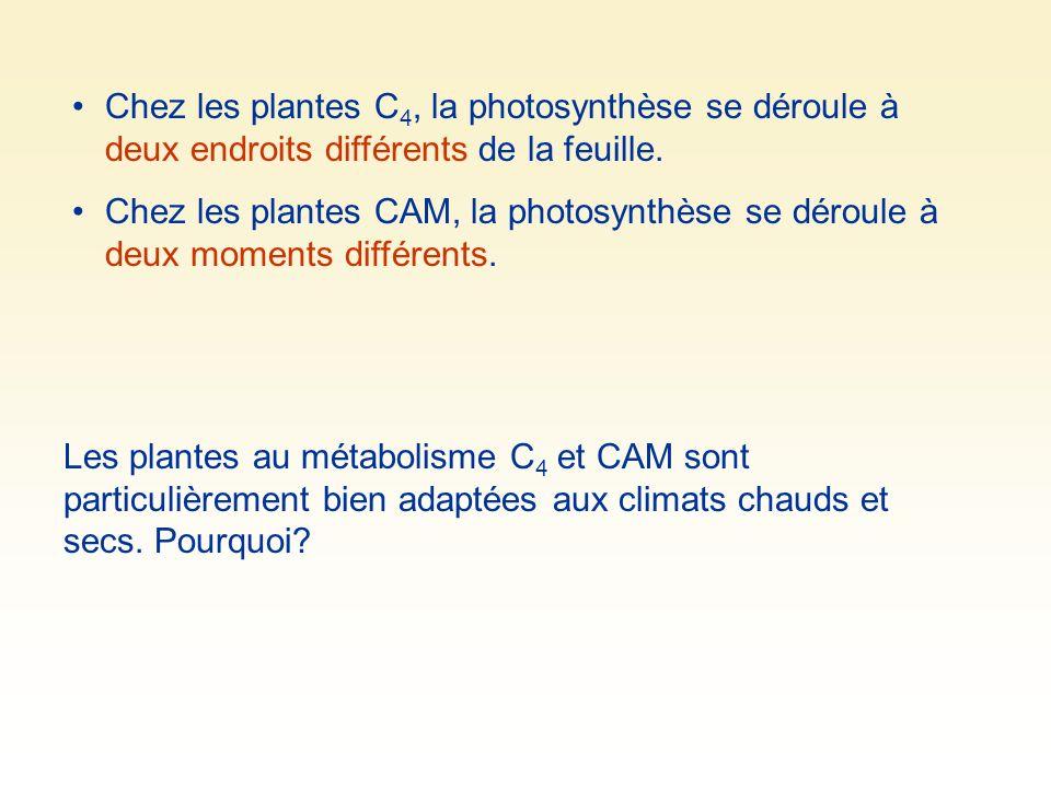 Chez les plantes C4, la photosynthèse se déroule à deux endroits différents de la feuille.