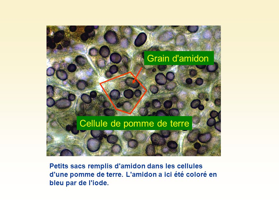 Cellule de pomme de terre