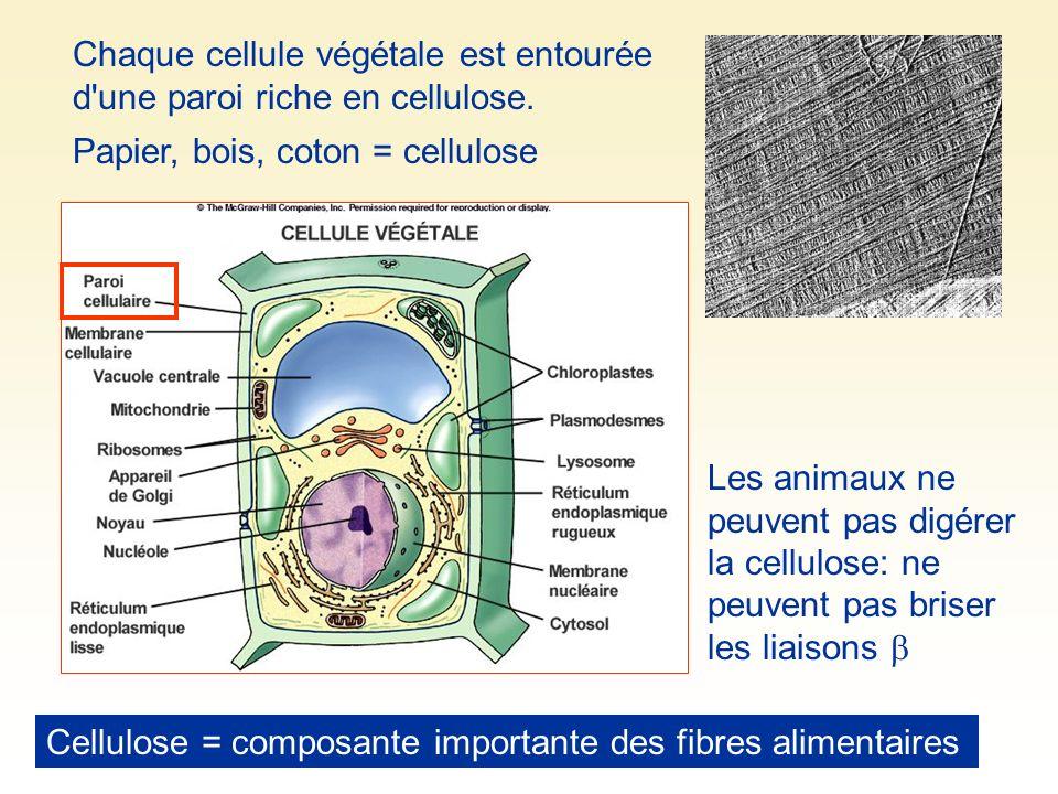 Chaque cellule végétale est entourée d une paroi riche en cellulose.