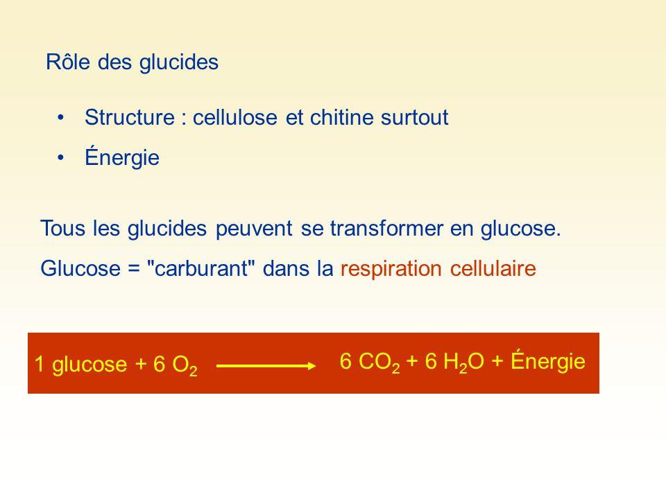 Rôle des glucides Structure : cellulose et chitine surtout. Énergie. Tous les glucides peuvent se transformer en glucose.