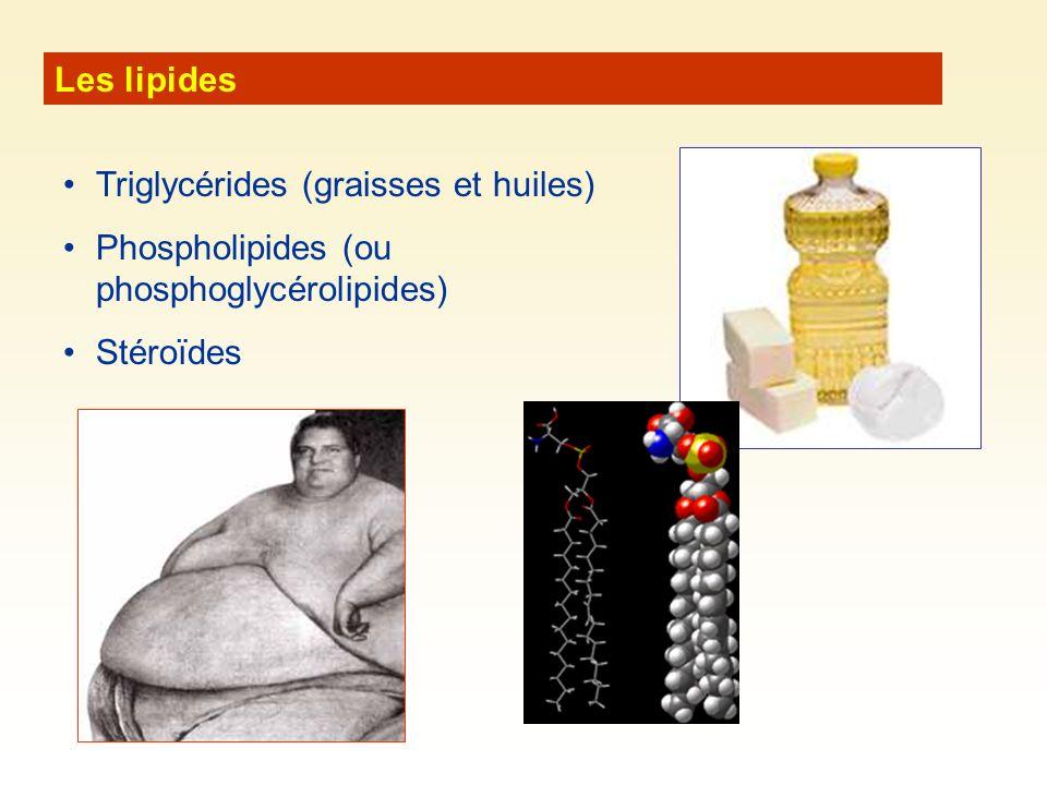Les lipides Triglycérides (graisses et huiles) Phospholipides (ou phosphoglycérolipides) Stéroïdes