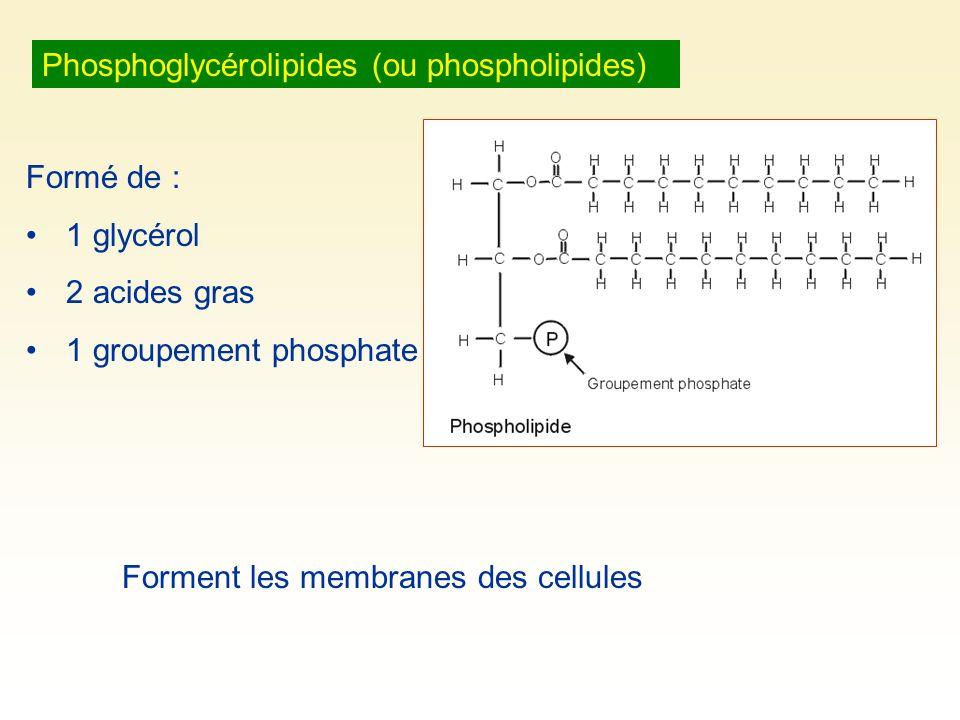 Phosphoglycérolipides (ou phospholipides)