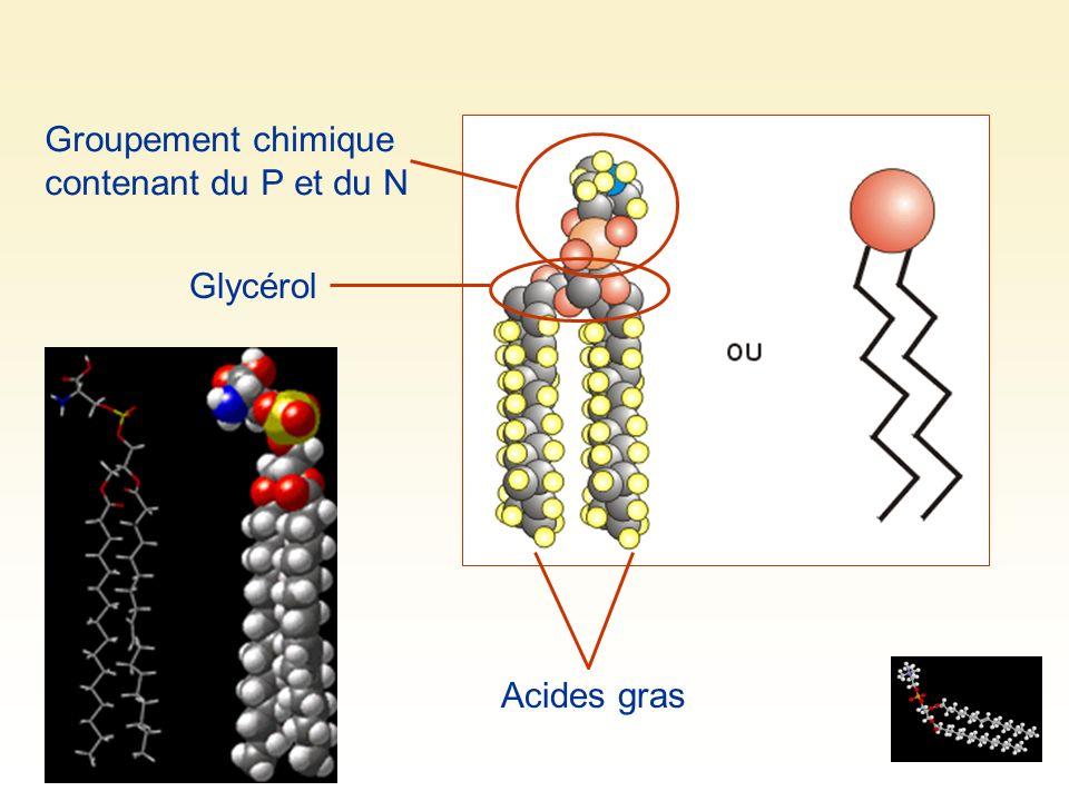 Groupement chimique contenant du P et du N