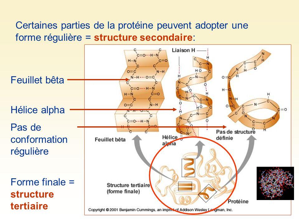 Certaines parties de la protéine peuvent adopter une forme régulière = structure secondaire: