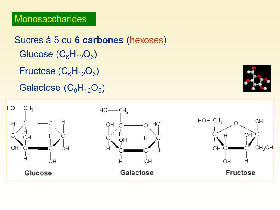 Monosaccharides Sucres à 5 ou 6 carbones (hexoses) Glucose (C6H12O6) Fructose (C6H12O6) Galactose (C6H12O6)