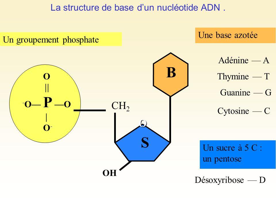 La structure de base d'un nucléotide ADN .