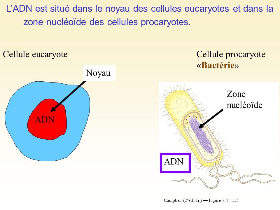 L'ADN est situé dans le noyau des cellules eucaryotes et dans la zone nucléoïde des cellules procaryotes.