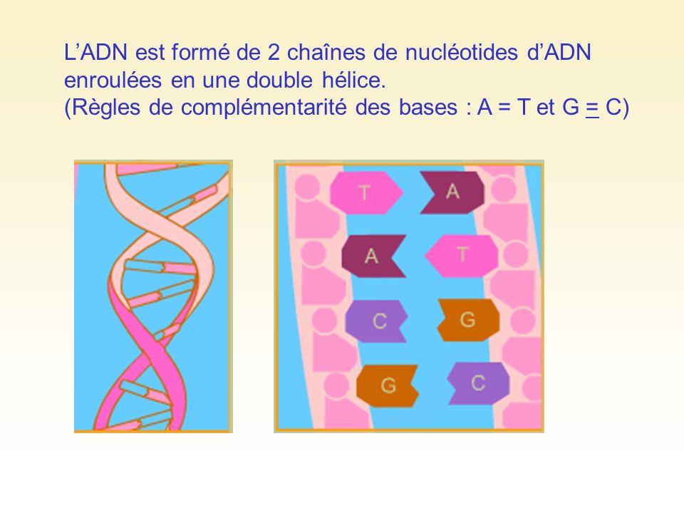 L'ADN est formé de 2 chaînes de nucléotides d'ADN enroulées en une double hélice.