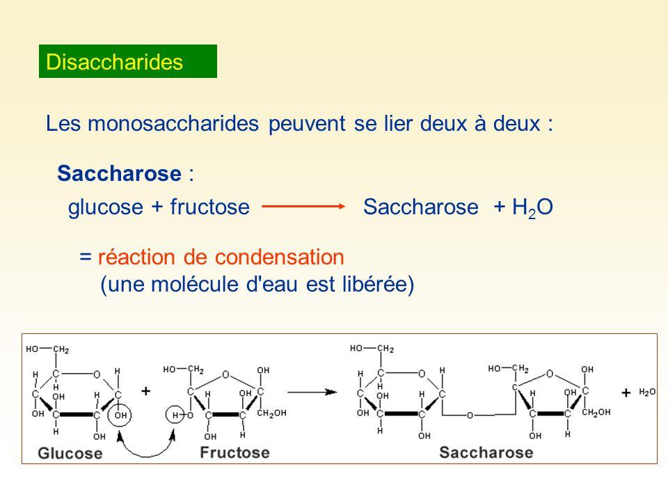 Disaccharides Les monosaccharides peuvent se lier deux à deux : Saccharose : glucose + fructose. Saccharose + H2O.
