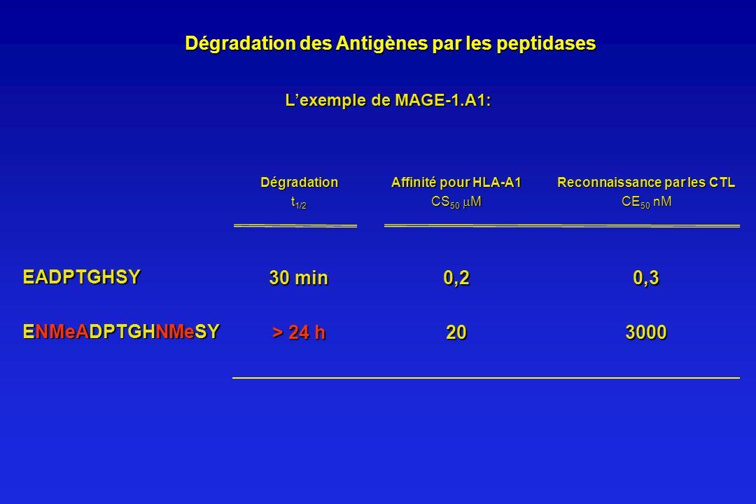 Dégradation des Antigènes par les peptidases