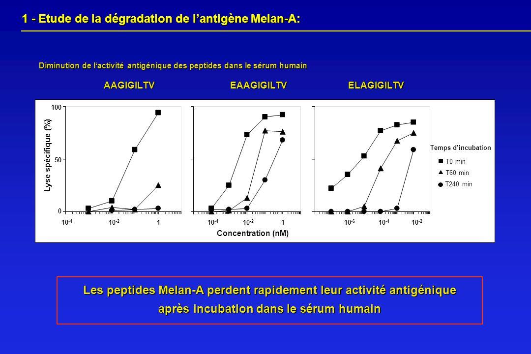 1 - Etude de la dégradation de l'antigène Melan-A: