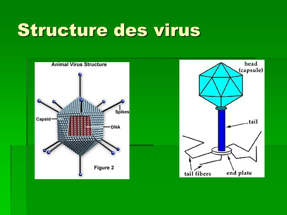 Structure des virus