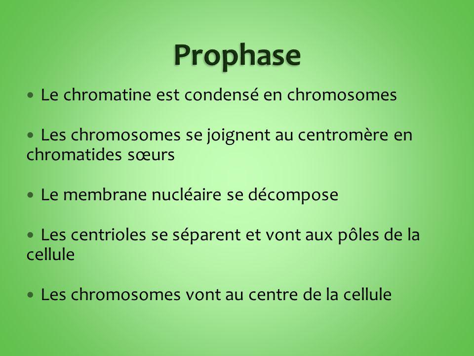 Prophase Le chromatine est condensé en chromosomes