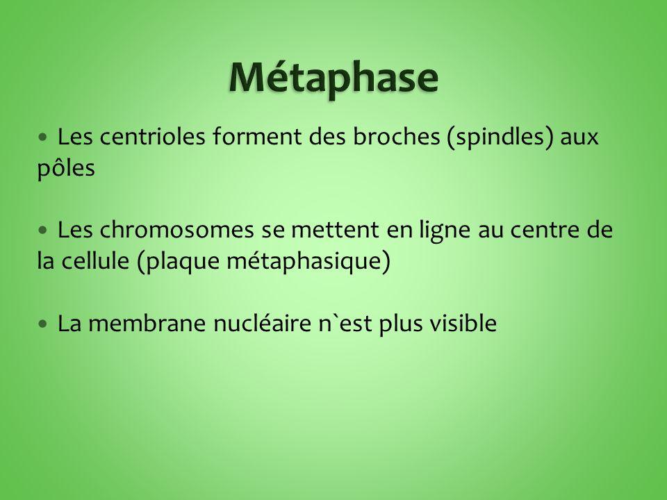 Métaphase Les centrioles forment des broches (spindles) aux pôles